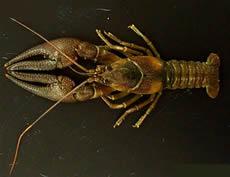 Crayfish-Nashville-1