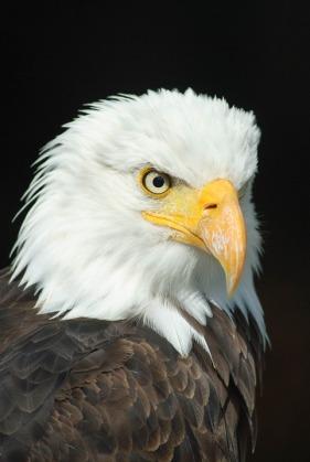 bald-eagle-723540_960_720